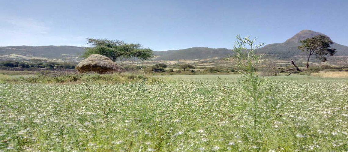 Ethiopian Black seed Farm